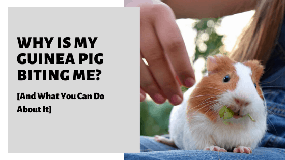 Why Is My Guinea Pig Biting Me? [And What You Can Do About It]