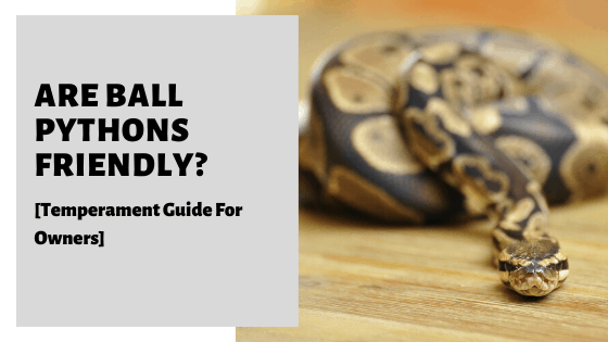 Are Ball Pythons Friendly? [Temperament Guide For Owners]