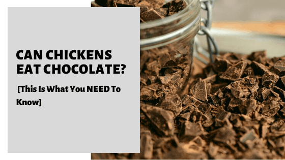 Can Chickens Eat Chocolate [This Is What You NEED To Know]