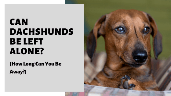 Can Dachshunds Be Left Alone? [How Long Can You Be Away?]