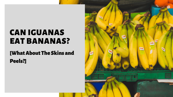Can Iguanas Eat Bananas_ [What About The Skins and Peels_]
