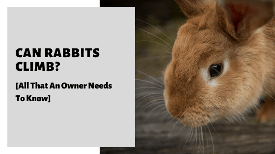 Can Rabbits Climb? [All That An Owner Needs To Know]