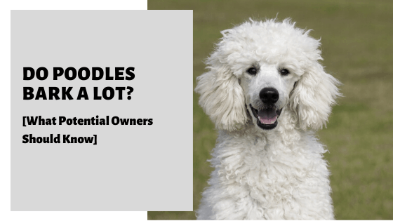 Do Poodles Bark A Lot? [What Potential Owners Should Know]