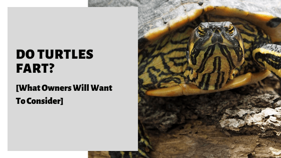 Do Turtles Fart? [What Owners Will Want To Consider]