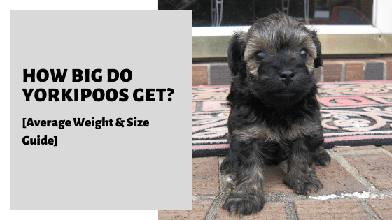 How Big Do Yorkipoos Get_ [Average Weight & Size Guide]
