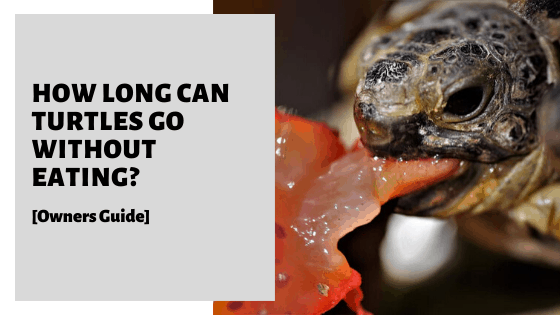 How Long Can Turtles Go Without Eating? [Owners Guide]