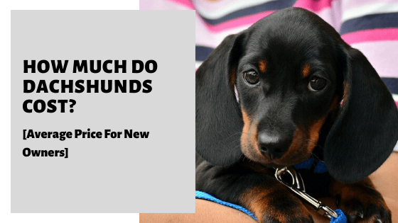 How Much Do Dachshunds Cost? [Average Price For New Owners]