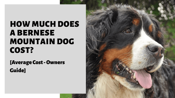 How Much Does A Bernese Mountain Dog Cost? [Average Price]