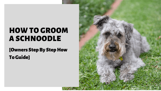 How To Groom A Schnoodle [Owners Step By Step How To Guide]