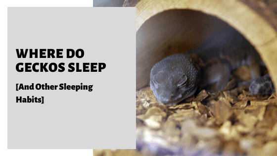 Where Do Geckos Sleep [And Other Sleeping Habits]
