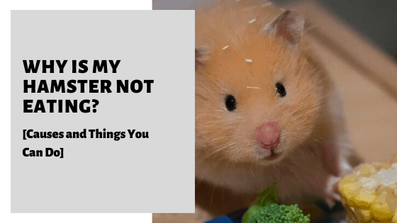 Why Is My Hamster Not Eating? [Causes and Things You Can Do]