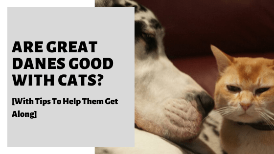 Are Great Danes Good With Cats? [With Tips To Help Them Get Along]