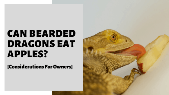 Can Bearded Dragons Eat Apples? [Considerations For Owners]