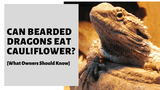 Can Bearded Dragons Eat Cauliflower? [What Owners Should Know]