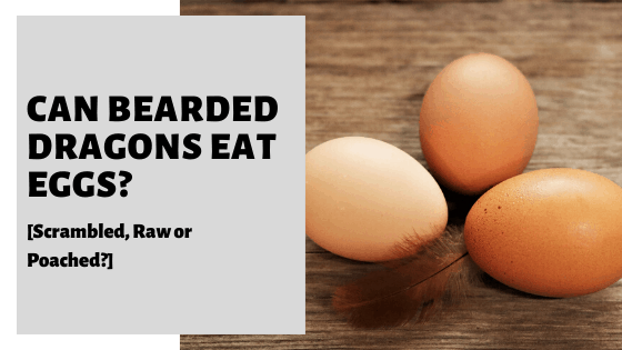 Can Bearded Dragons Eat Eggs? [Scrambled, Raw or Cooked?]