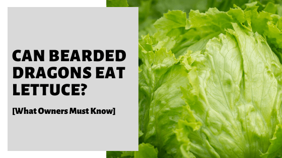 Can Bearded Dragons Eat Lettuce? [What Owners Must Know]