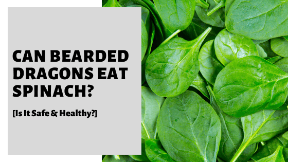 Can Bearded Dragons Eat Spinach? [Is It Safe & Healthy?]