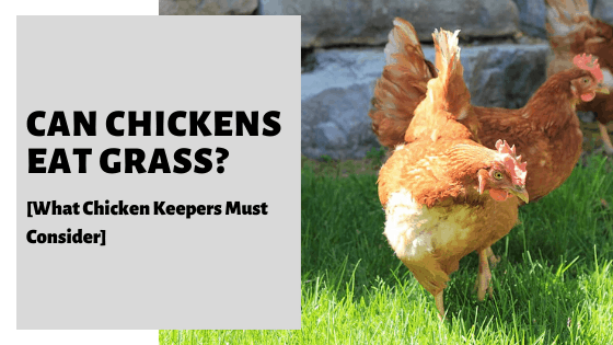 Can Chickens Eat Grass? [What Chicken Keepers Must Consider]