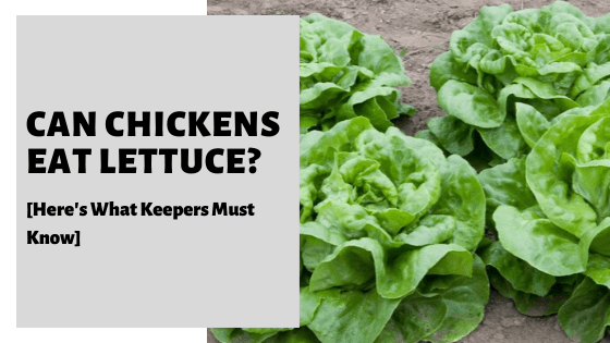 Can Chickens Eat Lettuce? [Here's What Keepers Must Know]