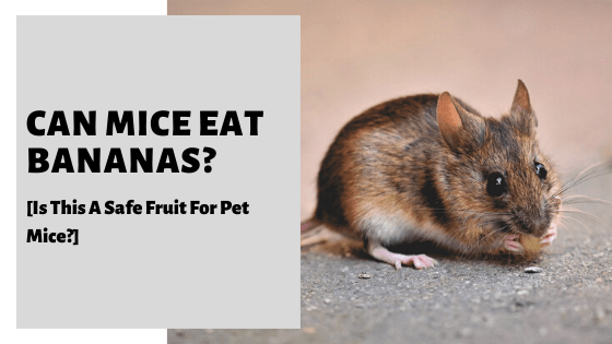Can Mice Eat Bananas [Is This A Safe Fruit For Pet Mice?]