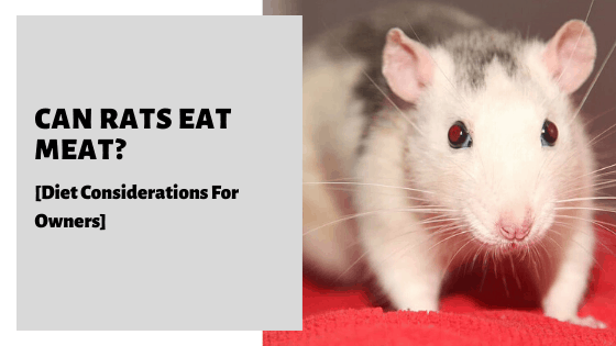 Can Rats Eat Meat? [Diet Considerations For Owners]