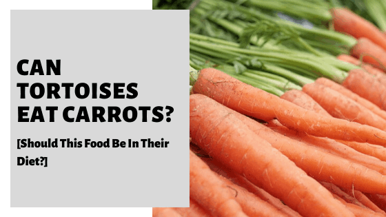Can Tortoises Eat Carrots? [Should This Food Be In Their Diet?]