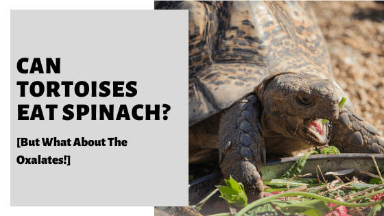 Can Tortoises Eat Spinach [But What About The Oxalates!]