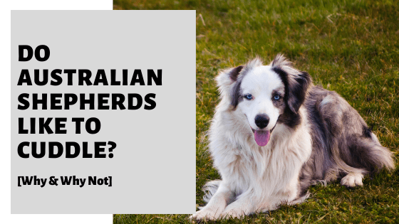 Do Australian Shepherds Like To Cuddle? [Why & Why Not]