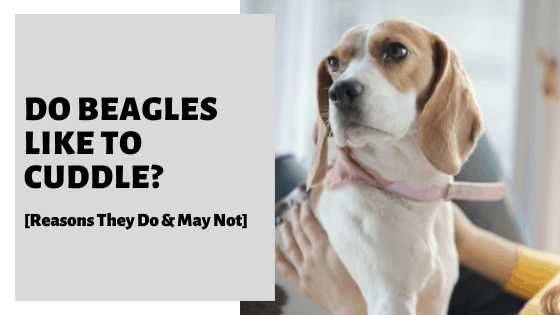 Do Beagles Like To Cuddle_ [Reasons They Do & May Not]