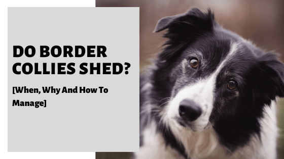 Do Border Collies Shed? [When, Why And How To Manage]