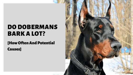 Do Dobermans Bark A Lot? [How Often And Potential Causes]