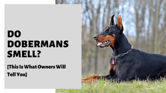 Do Dobermans Smell? [This Is What Owners Will Tell You]