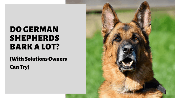 Do German Shepherds Bark A Lot? [With Solutions Owners Can Try]