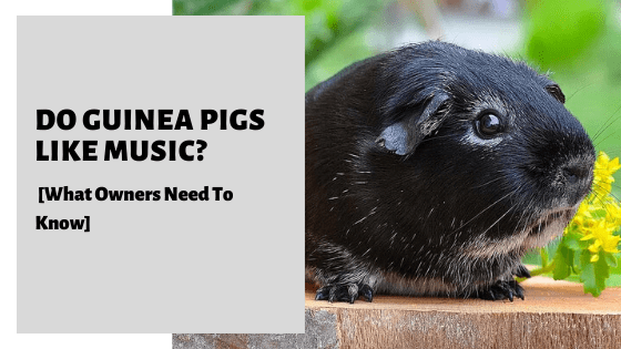 Do Guinea Pigs Like Music? [What Owners Need To Know]