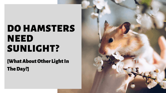 Do Hamsters Need Sunlight? [What About Other Light In The Day?]