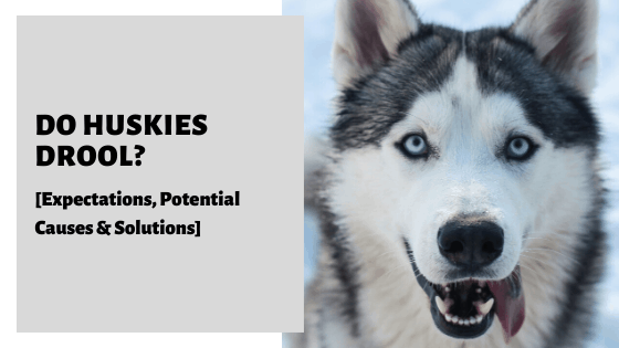 Do Huskies Drool? [Expectations, Potential Causes & Solutions]