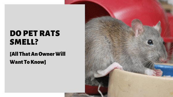 Do Pet Rats Smell? [All That An Owner Will Want To Know]