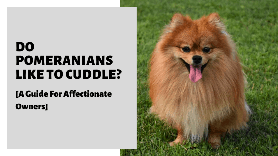 Do Pomeranians Like To Cuddle? [A Guide For Affectionate Owners]