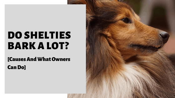 Do Shelties Bark A Lot? [Causes And What Owners Can Do]