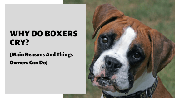 Why Do Boxers Cry? [Main Reasons And Things Owners Can Do]