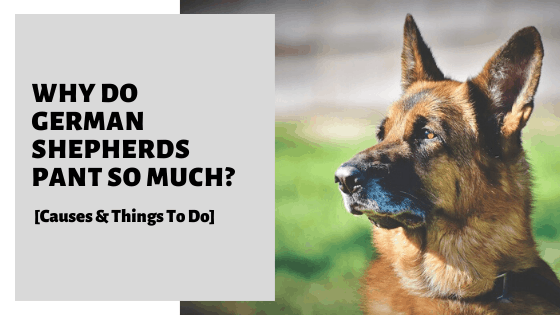Why Do German Shepherds Pant So Much? [Causes & Things To Do]
