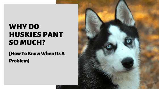 Why Do Huskies Pant So Much_ [How To Know When Its A Problem]