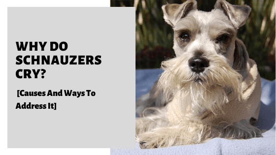 Why Do Schnauzers Cry? [Causes And Ways To Address It]