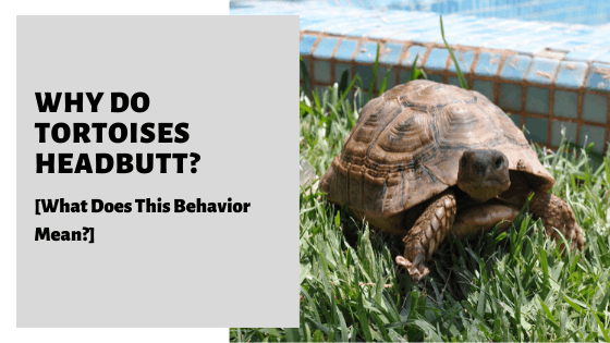Why Do Tortoises Headbutt? [What Does This Behavior Mean?]