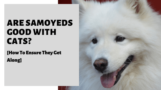 Are Samoyeds Good With Cats? [How To Ensure They Get Along]