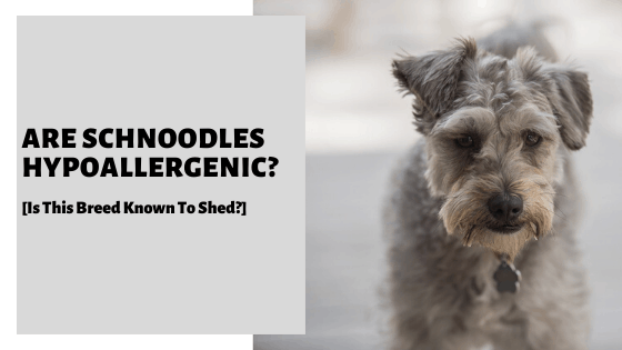 Are Schnoodles Hypoallergenic? [Is This Breed Known To Shed?]