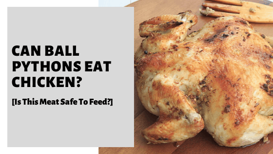 Can Ball Pythons Eat Chicken? [Is This Meat Safe To Feed?]