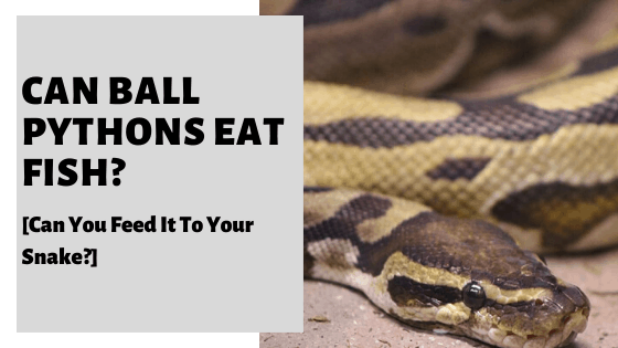 Can Ball Pythons Eat Fish? [Can You Feed It To Your Snake?]