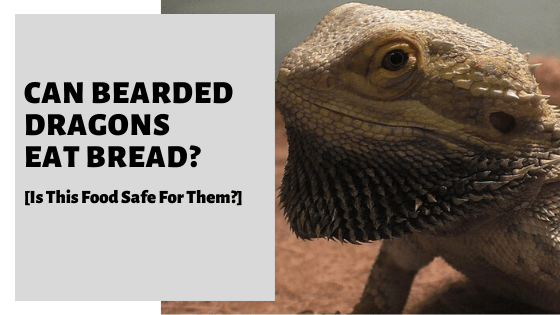 Can Bearded Dragons Eat Bread? [Is This Food Safe For Them?]