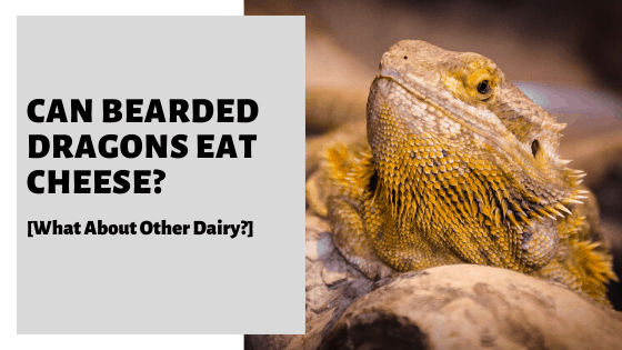 Can Bearded Dragons Eat Cheese? [What About Other Dairy?]